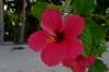 цветы на о. Даку. Филиппины