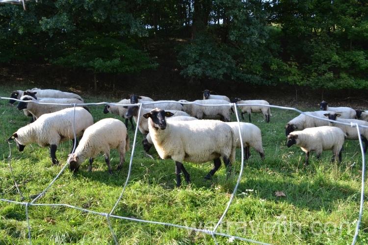 овечки в Германии