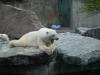 белый медведь в зоопарке штутгарта