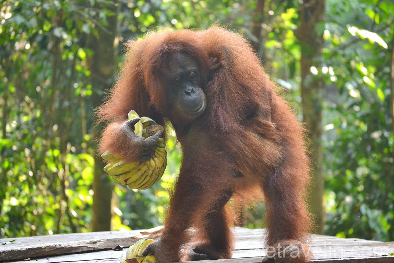 кормление орангутанга