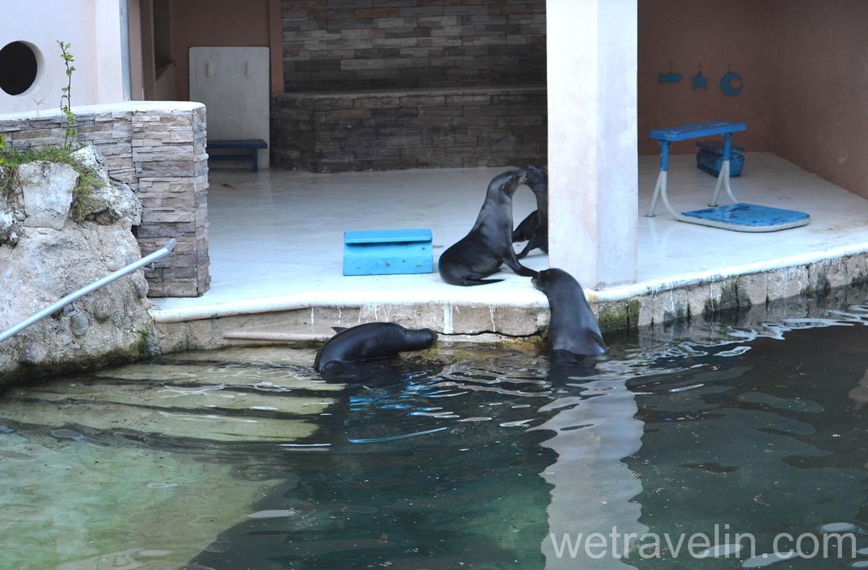 морские котики в пуэрто авентурас