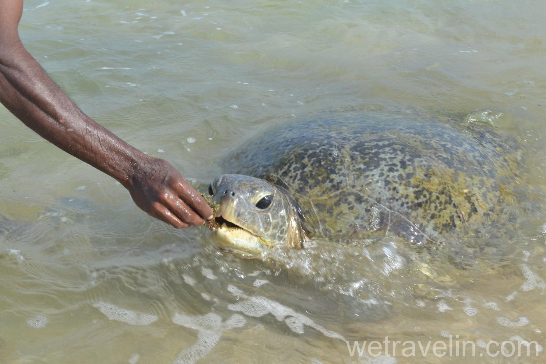 Черепаха кушает водоросль