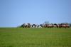 кони пржевальского в заповеднике Гайчур