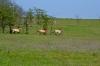 лошади Пржевальского в заповеднике Гайчур