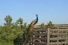 павлин в заповеднике Гайчур