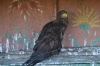 орел в Заповеднике Гайчур